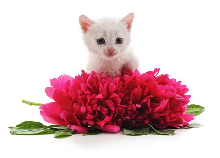 Foto de Red peonies and white cat isolated on a white background. - Imagen libre de derechos