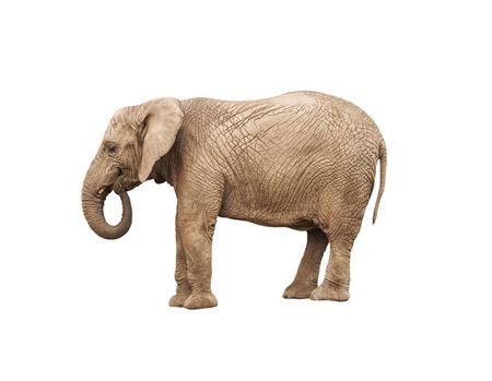 adult elephant on white background