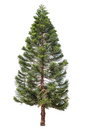 Foto de Norfolk pine or Araucaria pine tree isolated on white - Imagen libre de derechos