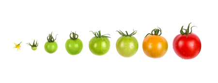 Photo for tomato growing evolution progress set isolated on white background - Royalty Free Image