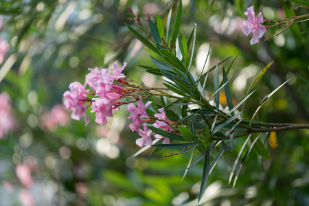 Photo for Pink flowers of oleander on the lush Bush on blurred green background with bokeh - Royalty Free Image