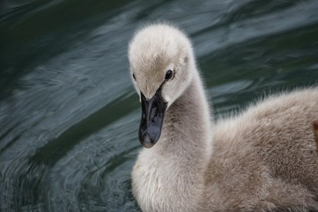 fluffy Swan chick on the background of the water surface.