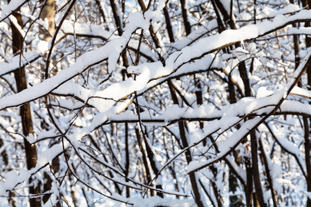 Photo for snow-covered intertwined branches of trees in forest of Timiryazevskiy park of Moscow city in sunny winter day - Royalty Free Image