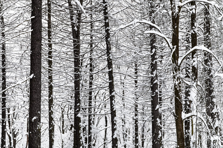 Photo for bare pine trees trunks in winter forest of Timiryazevskiy park in Moscow city - Royalty Free Image