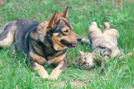 Dog and cat playing together outdoor  Cat lying on the back