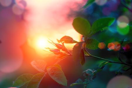 Photo pour Evening summer landscape, rosebuds at sunset. Selective focus - image libre de droit