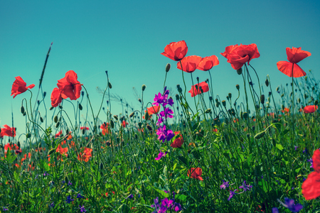 Photo pour Poppy flowers against the sky - image libre de droit