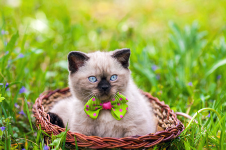 Photo pour Little kitten wearing bow tie lying in a basket on the grass - image libre de droit