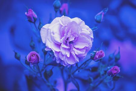 Photo pour Rosebush in the garden. Blue vintage flower nature background - image libre de droit
