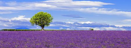 Foto de Panoramic view of lavender field with tree, France. - Imagen libre de derechos
