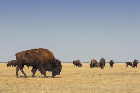 Foto de Herd of wild American Bisons graze in a dry field with a clear blue sky - Imagen libre de derechos