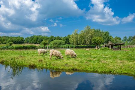 Foto de Skudden sheeps at the lake wallsee in Oldenburg Holstein at the Baltic Sea - Imagen libre de derechos