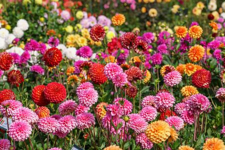 Photo pour Colorfull dahlias - image libre de droit