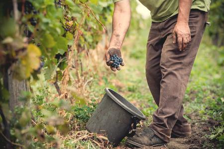 Photo pour man is working in a vineyard - image libre de droit