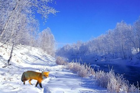Photo for red fox in winter - Royalty Free Image