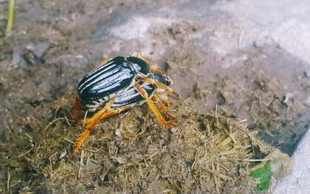 Foto de Two black beetles  Gocta Waterfalls - Peru - Imagen libre de derechos