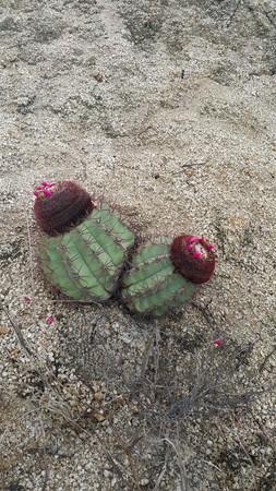 Foto de Twin green cactus in desert - Imagen libre de derechos