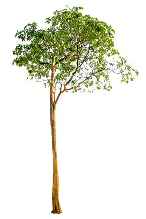 Photo for Tree isolated on white background - Royalty Free Image