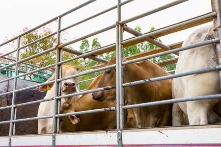 Photo pour Truck Transport Beef Cattle Cow livestock  - image libre de droit