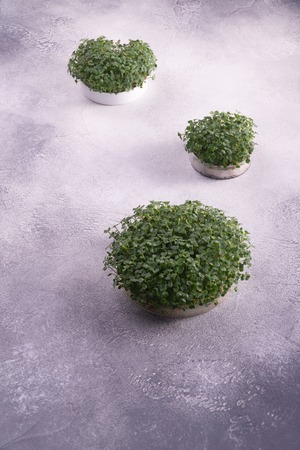 Foto de Microgreens in three round containers on bright textured surface. Sprouts, microgreens, healthy eating concept. Science, biology. - Imagen libre de derechos