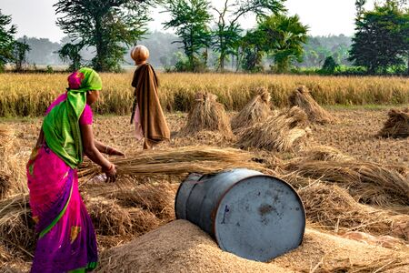 Foto für Hard Working Indian Woman Farmer wearing Saree, and working in her fields in the harvest season and is winnowing wheat grains from the Chaff in Traditional way. - Lizenzfreies Bild
