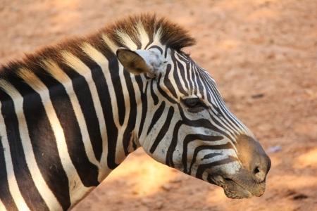 Photo for zebra - Royalty Free Image
