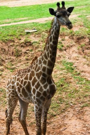Photo for Giraffe - Royalty Free Image