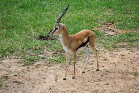 Photo for Small deer - Royalty Free Image