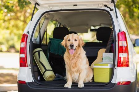 Photo pour Domestic dog sitting in the car trunk - image libre de droit