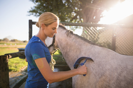 Photo pour Female jockey cleaning horse with sweat scraper at barn - image libre de droit