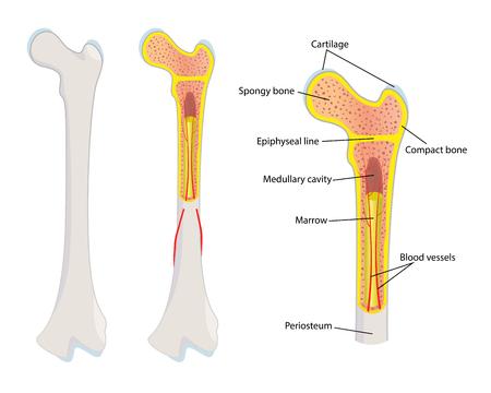 Illustration pour Human bone anatomy, illustration - image libre de droit