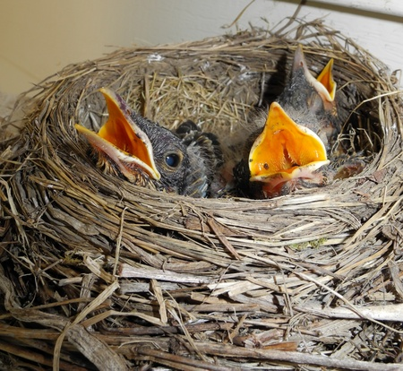 Baby robins waiting for mother robin to return with food
