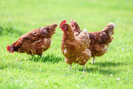 Foto de Hens on traditional free range poultry organic farm grazing on the grass - Imagen libre de derechos