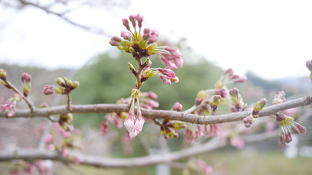The buds of japanese sakura