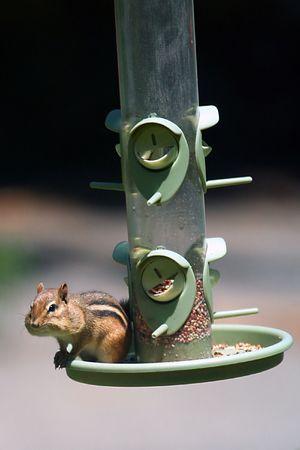 Chipmunk on a Bird Feeder