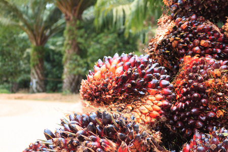 Photo for Palm oil seed - Royalty Free Image
