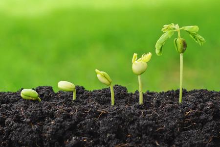 Foto de Sequence of seed germination on green background - Imagen libre de derechos