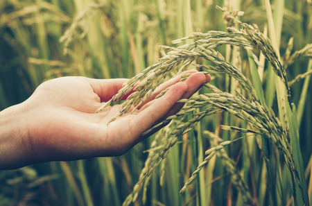 Foto de hand touching rice in a paddy field with warm sunlight - Imagen libre de derechos