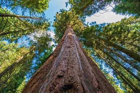 Photo for Ancient Giant Sequoias Forest in California, United States. Sequoia National Park, CA, USA. - Royalty Free Image
