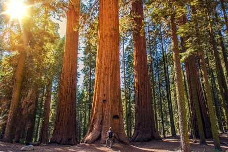 Photo for Sequoia vs Man. Giant Sequoias Forest and the Tourist with Backpack  Looking Up. - Royalty Free Image