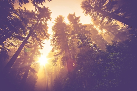 Photo for Misty Forest Trail. Magic Redwood Forest Scenery in Warm Vintage Color Grading. - Royalty Free Image