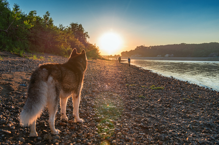 Photo pour Dog looks at the sunset. Siberian husky on the shore of the evening summer river. Back view. Copy space. For cover, magazine, advertisement. - image libre de droit