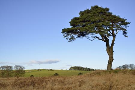 Foto de Scots Pine Tree - Pinus sylvestris, and North Hill, Waldegrave Pool, Mendip Hills, Somerset - Imagen libre de derechos