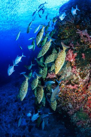 Photo pour Emperor and Trevally hunting on a tropical coral reef - image libre de droit