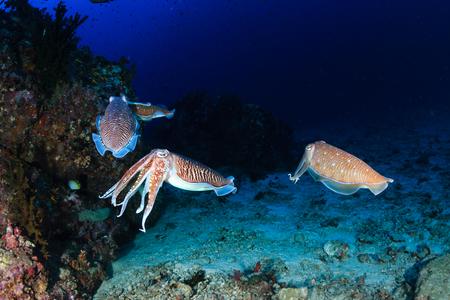 Photo pour A family of Cuttlefish on a coral reef - image libre de droit