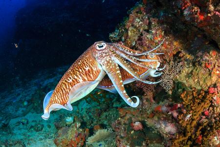 Photo pour Mating Cuttlefish at sunrise on a deep, tropical coral reef - image libre de droit