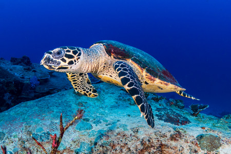 Photo for Hawksbill Sea Turtle feeding on a tropical coral reef - Royalty Free Image