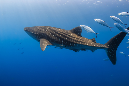 Photo pour Large Whale Shark swimming in shallow water over a tropical coral reef - image libre de droit