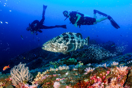 Photo for A large Malabar grouper being cleaned on a tropical coral reef whilst SCUBA divers watch from the background - Royalty Free Image