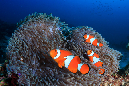 Foto de A family of beautiful False Clownfish in their host anemone on a tropical coral reef - Imagen libre de derechos